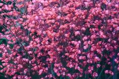 Fleurs roses, fond de ressort Photo libre de droits