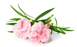 Fleurs roses fraîches d'oeillet d'isolement sur le blanc photos libres de droits