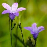 Fleurs roses fragiles Photo libre de droits