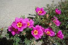 Fleurs roses grandiflora de Portulaca Photographie stock