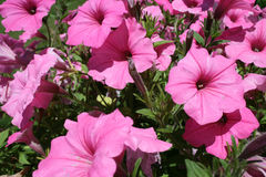Fleurs roses héritant la fleur Image stock