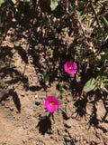 Fleurs roses lumineuses Image libre de droits