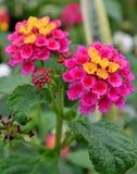 Fleurs roses lumineuses de camara de lantana Photographie stock