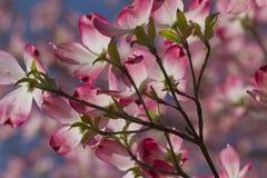 Fleurs roses lumineuses de cornouiller Images stock