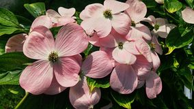 Fleurs roses lumineuses de cornouiller Photographie stock