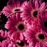 Fleurs roses lumineuses de Gerbera Photographie stock