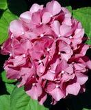 Fleurs roses lumineuses de macrophylla d'hortensia Image stock