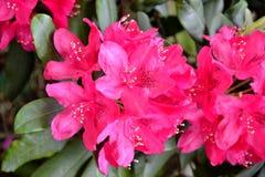 Fleurs roses lumineuses de rhododendron Photographie stock libre de droits