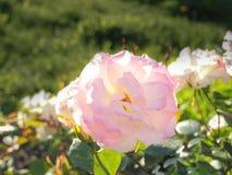 Fleurs roses lumineuses parfumées sur le fond ensoleillé vert Roses pour le bouquet Image stock
