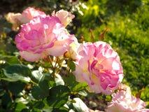 Fleurs roses lumineuses parfumées sur le fond ensoleillé vert Roses pour le bouquet Photos libres de droits