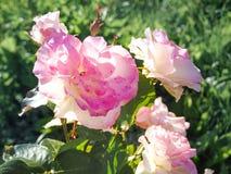 Fleurs roses lumineuses parfumées sur le fond ensoleillé vert Roses pour le bouquet Photographie stock libre de droits