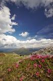 Fleurs roses magiques de rhododendron dans les montagnes Photographie stock libre de droits