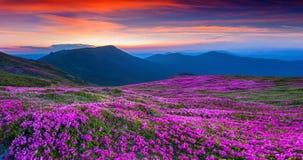 Fleurs roses magiques de rhododendron sur la montagne d'été photos libres de droits