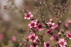 Fleurs roses minuscules sur un buisson d'arbre de thé de Leptospermum Images stock
