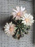 Fleurs roses molles de cactus Image stock