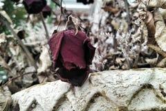 Fleurs roses mortes et sèches Images libres de droits