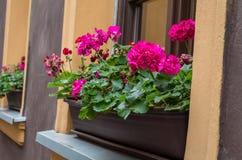 Fleurs roses, pélargonium, géraniums, storksbills dans le pot en bois Photos libres de droits