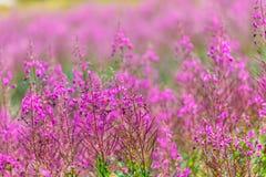 Fleurs roses pelucheuses d'épilobe Image libre de droits