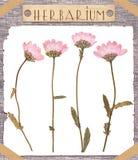 Fleurs roses pressées par herbier Photographie stock
