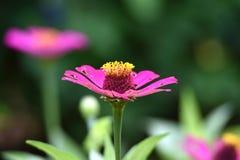 Fleurs roses qui fleurissent dans la saison des pluies photos stock
