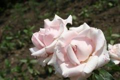 Fleurs roses rose-clair d'été Photos stock