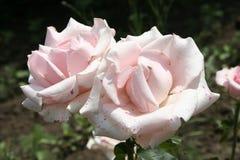 Fleurs roses rose-clair d'été Photographie stock