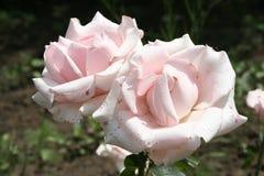 Fleurs roses rose-clair d'été Photo stock