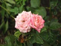 Fleurs roses rose-clair humides Images libres de droits