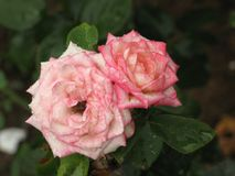 Fleurs roses rose-clair humides Image stock