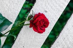 Fleurs roses rouge foncé, usine verte de branche, fond en bois blanc Photo libre de droits