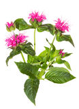 Fleurs roses saisissantes du Beebalm cramoisi photo libre de droits