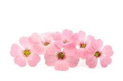 Fleurs roses sensibles Photographie stock libre de droits