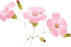 Fleurs roses sensibles Photographie stock