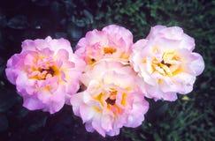 Fleurs roses sensibles Image stock