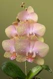 Fleurs roses sensibles d'orchidée Photos libres de droits