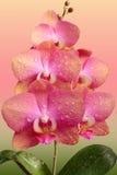 Fleurs roses sensibles d'orchidée Images stock
