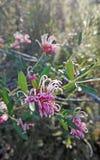 Fleurs roses sensibles de Grevillea Photographie stock libre de droits