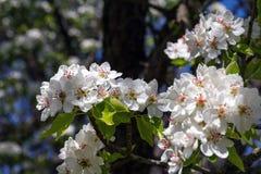 Fleurs roses sensibles de poire photo stock