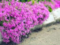 Fleurs roses sensibles le long des restrictions sur la pelouse Photo libre de droits