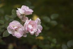 Fleurs roses sensibles sur le fond vert image libre de droits