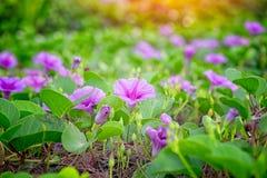 Fleurs roses (siège potentiel d'explosion-caprae d'Ipomoea) photo libre de droits