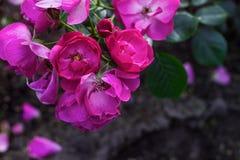 Fleurs roses sur Bush Photographie stock libre de droits