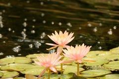 Fleurs roses sur l'étang Image stock