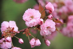 Fleurs roses sur l'arbre Images libres de droits