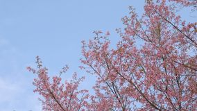 Fleurs roses sur l'arbre avec le ciel bleu banque de vidéos