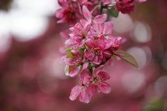 Fleurs roses sur l'arbre de Crabapple photographie stock libre de droits