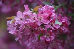Fleurs roses sur l'arbre de Crabapple image stock