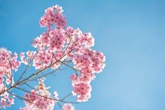 Fleurs roses sur la branche avec le ciel bleu pendant la floraison de ressort Photo stock