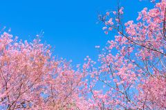 Fleurs roses sur la branche avec le ciel bleu pendant la floraison de ressort Photo libre de droits