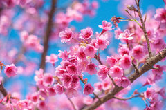 Fleurs roses sur la branche avec le ciel bleu pendant la branche de floraison de ressort avec les fleurs roses de Sakura et le fo Photo libre de droits